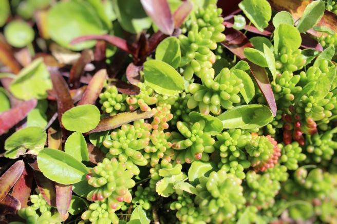 california-succulents